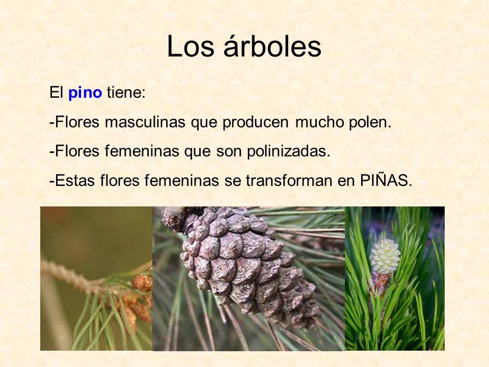 Los árboles El pino tiene: -Flores masculinas que producen mucho polen. -Flores femeninas que son polinizadas. -Estas flores femeninas se transforman
