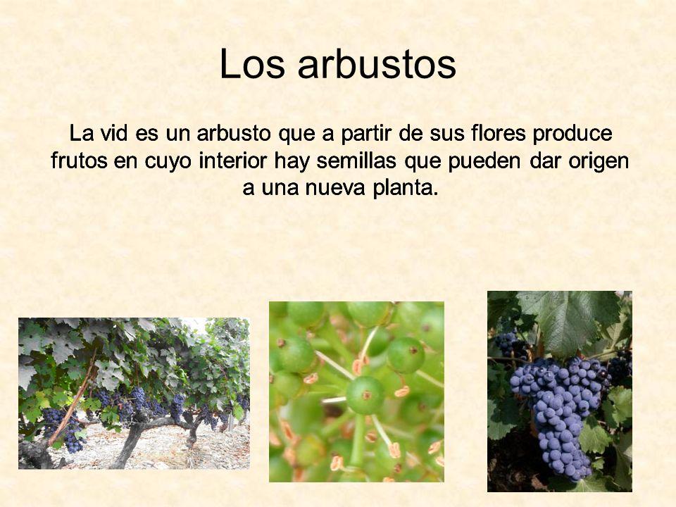 Los arbustos La vid es un arbusto que a partir de sus flores produce frutos en cuyo interior hay semillas que pueden dar origen a una nueva planta.