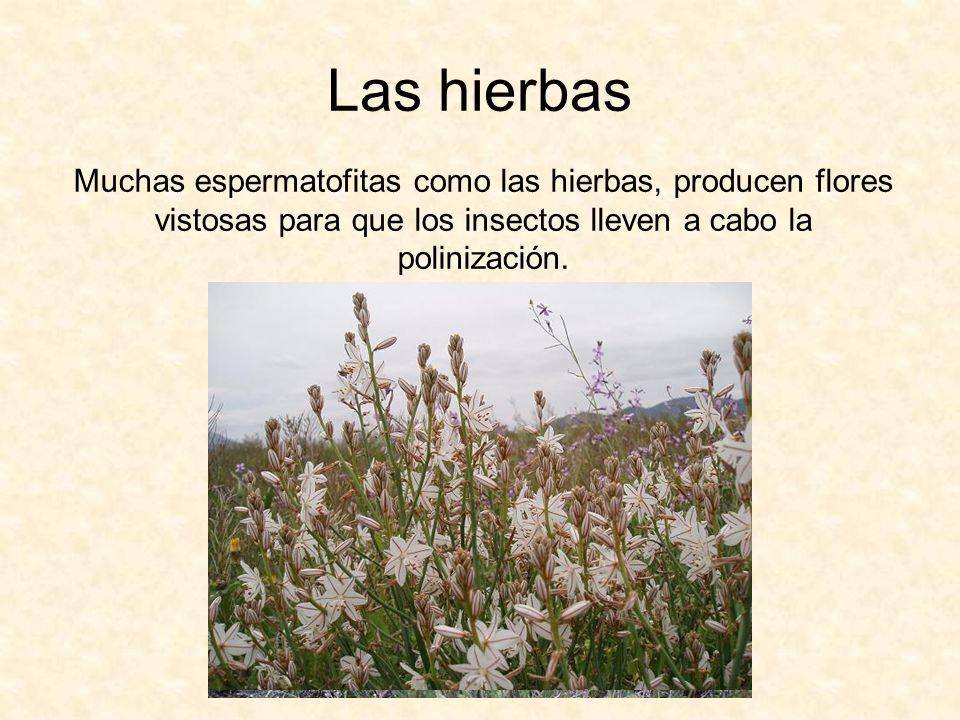 Las hierbas Muchas espermatofitas como las hierbas, producen flores vistosas para que los insectos lleven a cabo la polinización.