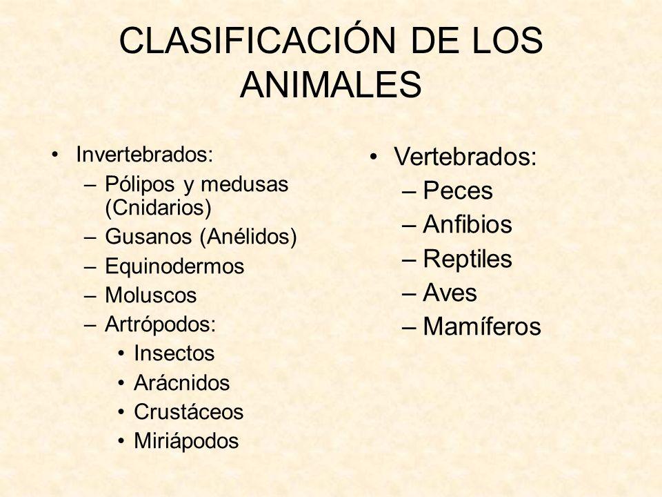 CLASIFICACIÓN DE LOS ANIMALES Invertebrados: –Pólipos y medusas (Cnidarios) –Gusanos (Anélidos) –Equinodermos –Moluscos –Artrópodos: Insectos Arácnido