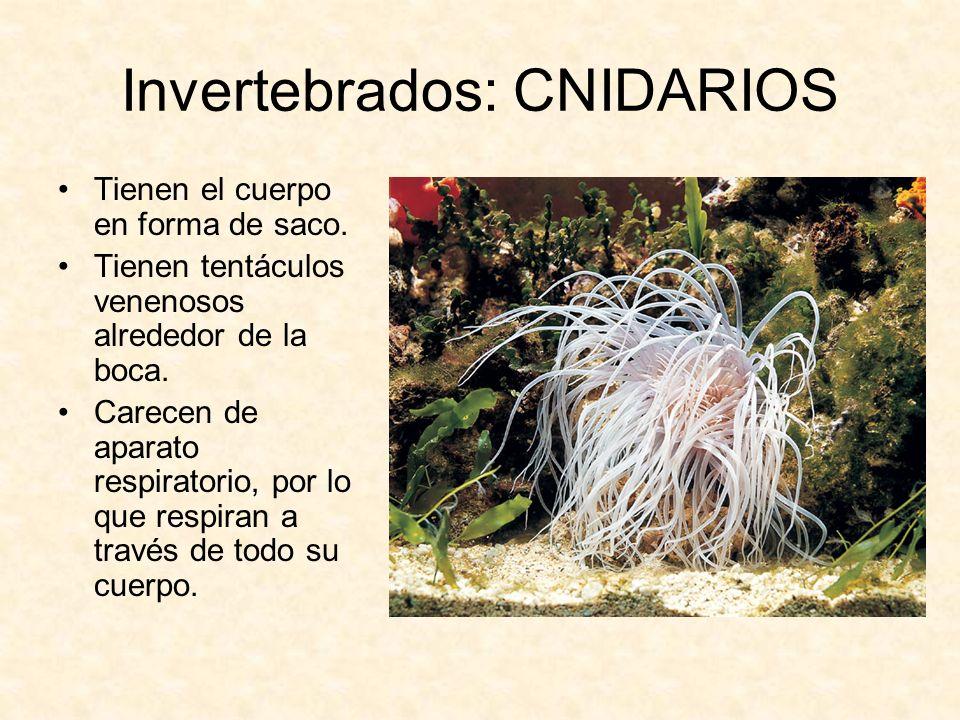Invertebrados: CNIDARIOS Tienen el cuerpo en forma de saco. Tienen tentáculos venenosos alrededor de la boca. Carecen de aparato respiratorio, por lo