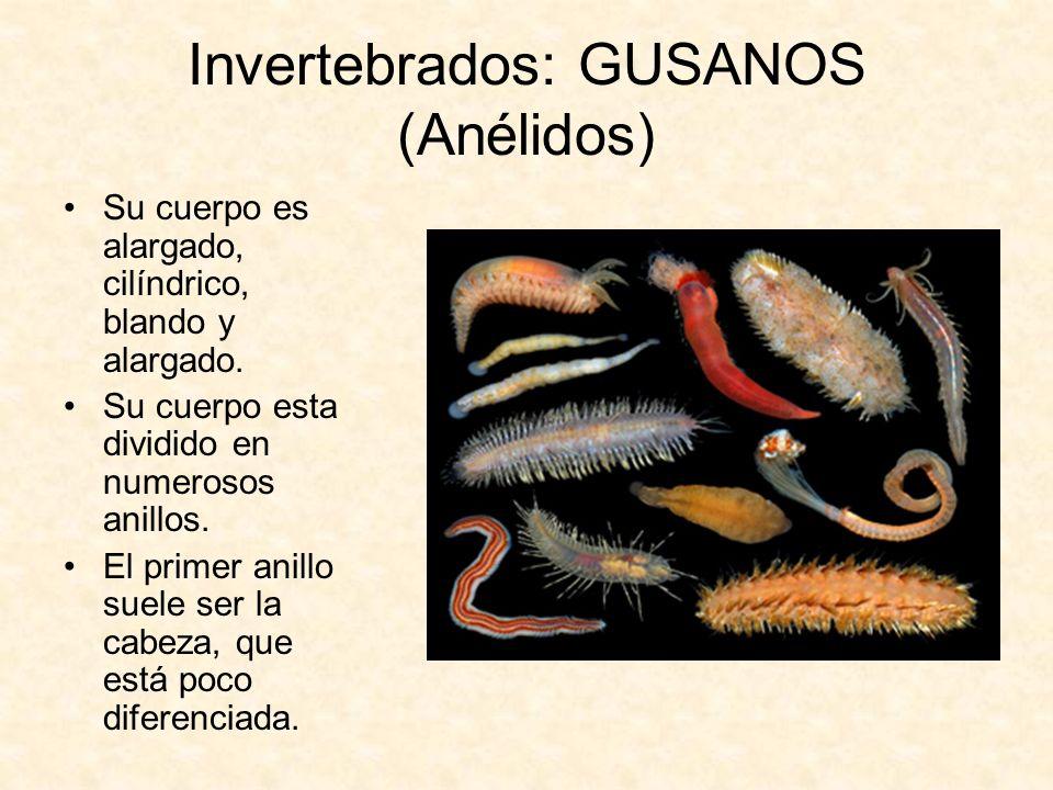 Invertebrados: GUSANOS (Anélidos) Su cuerpo es alargado, cilíndrico, blando y alargado. Su cuerpo esta dividido en numerosos anillos. El primer anillo
