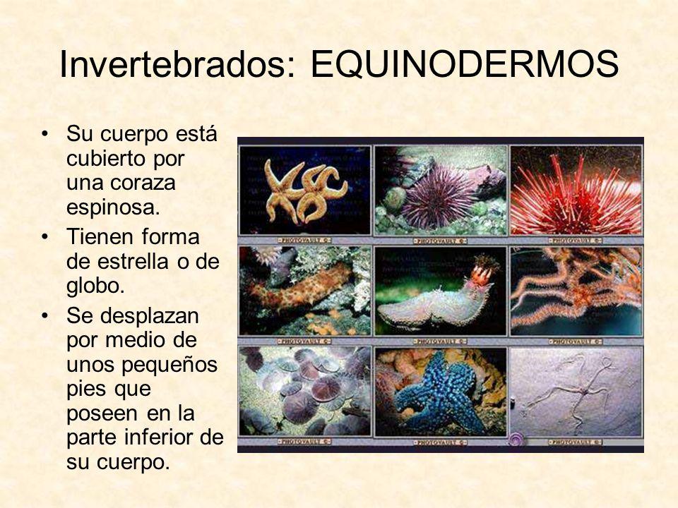 Invertebrados: EQUINODERMOS Su cuerpo está cubierto por una coraza espinosa. Tienen forma de estrella o de globo. Se desplazan por medio de unos peque