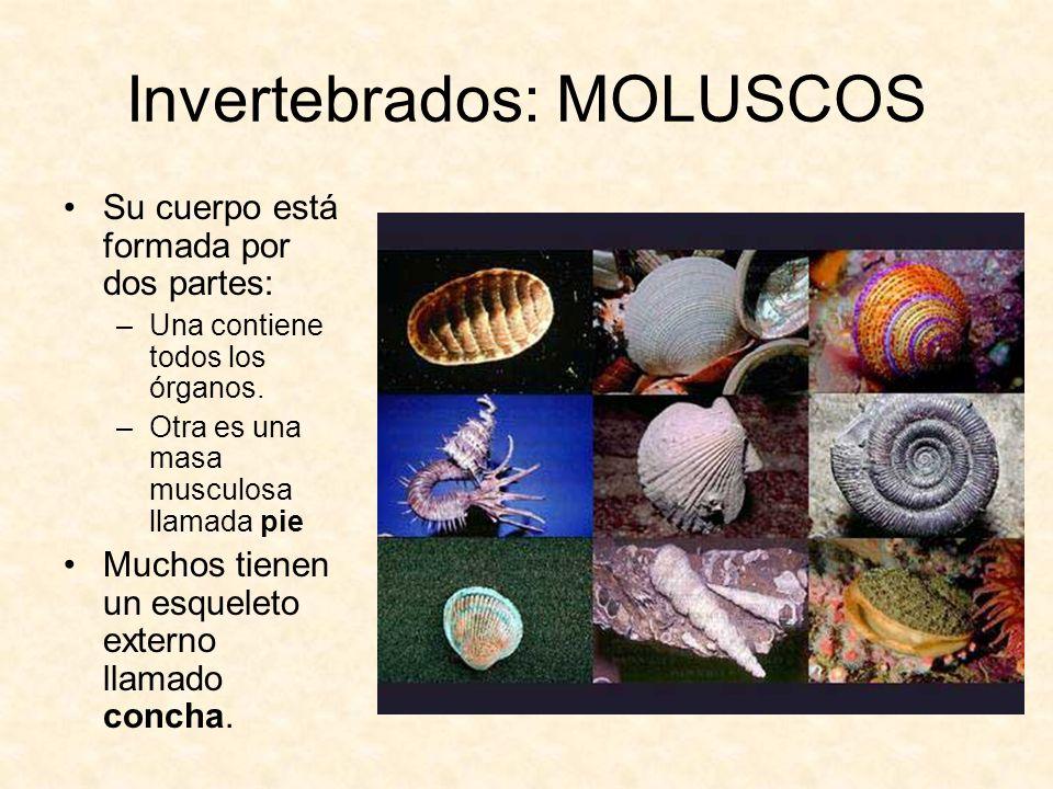 Invertebrados: MOLUSCOS Su cuerpo está formada por dos partes: –Una contiene todos los órganos. –Otra es una masa musculosa llamada pie Muchos tienen