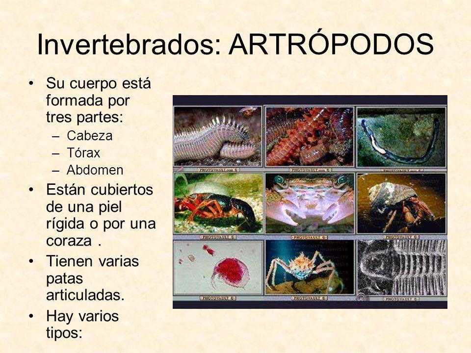 Invertebrados: ARTRÓPODOS Su cuerpo está formada por tres partes: –Cabeza –Tórax –Abdomen Están cubiertos de una piel rígida o por una coraza. Tienen