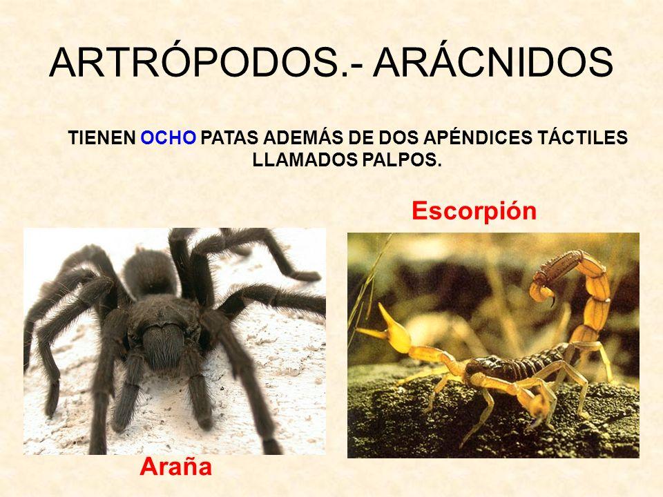 ARTRÓPODOS.- ARÁCNIDOS TIENEN OCHO PATAS ADEMÁS DE DOS APÉNDICES TÁCTILES LLAMADOS PALPOS. Escorpión Araña