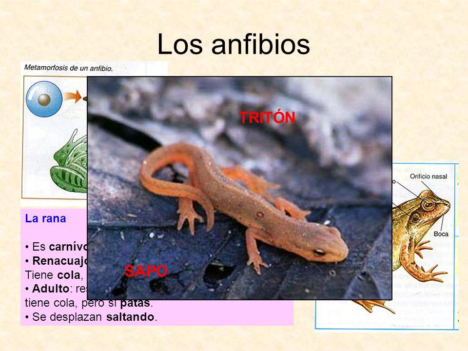 Los anfibios La rana Es carnívora. Renacuajo: respira por la piel y por bránquias. Tiene cola, pero no patas. Adulto: respira por la piel y por pulmon