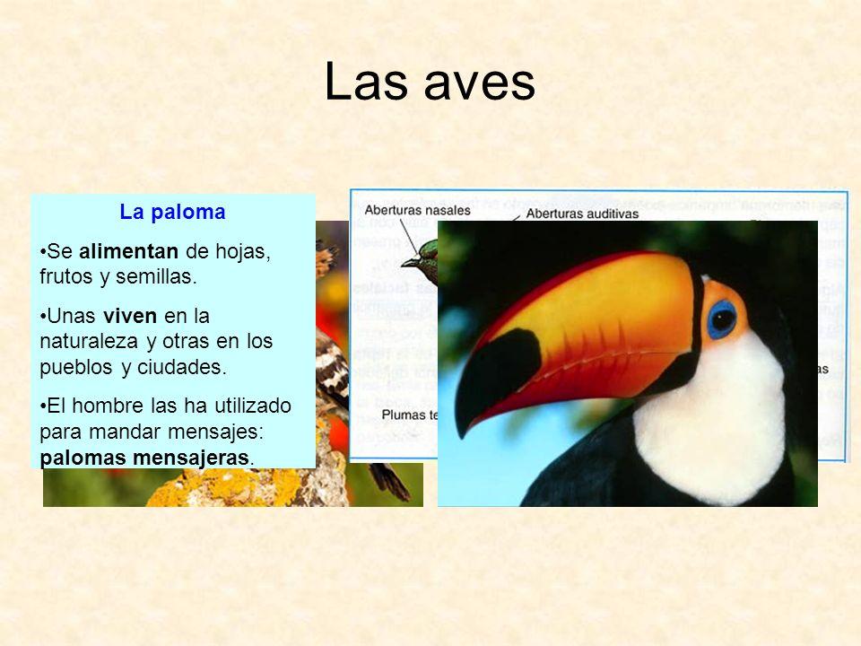 Las aves La paloma Se alimentan de hojas, frutos y semillas. Unas viven en la naturaleza y otras en los pueblos y ciudades. El hombre las ha utilizado