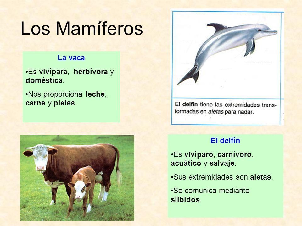 Los Mamíferos La vaca Es vivípara, herbívora y doméstica. Nos proporciona leche, carne y pieles. El delfín Es vivíparo, carnívoro, acuático y salvaje.
