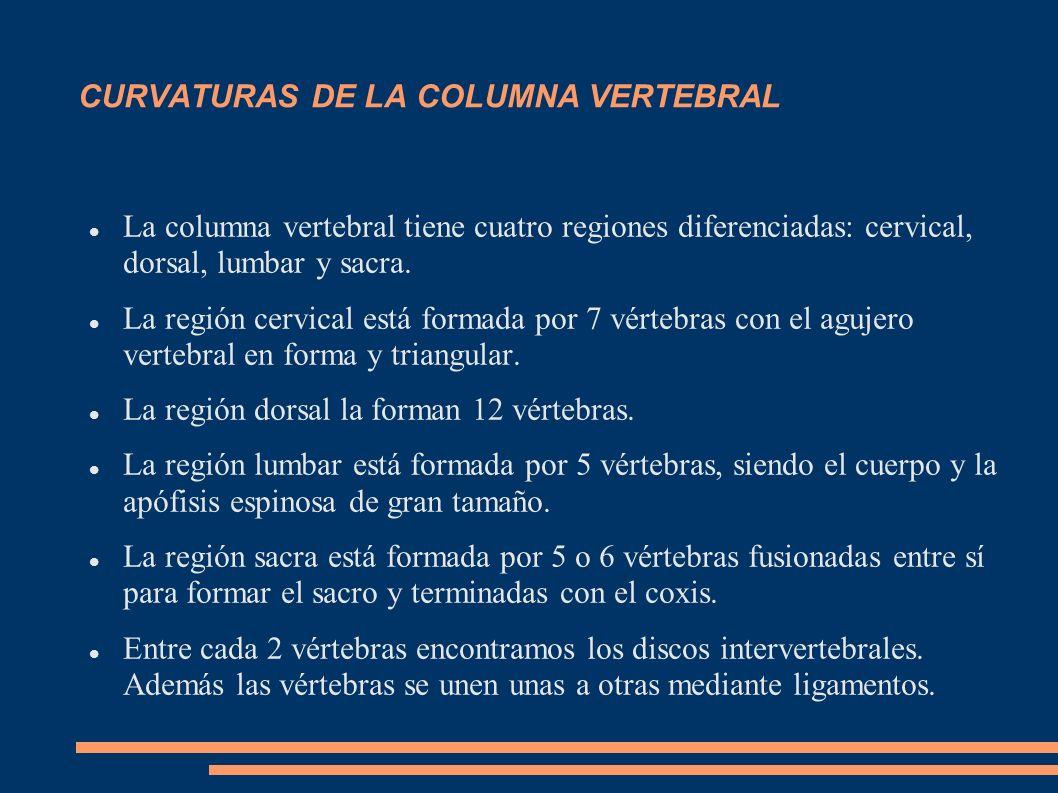 CURVATURAS DE LA COLUMNA VERTEBRAL La columna vertebral tiene cuatro regiones diferenciadas: cervical, dorsal, lumbar y sacra. La región cervical está