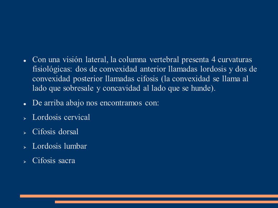 Con una visión lateral, la columna vertebral presenta 4 curvaturas fisiológicas: dos de convexidad anterior llamadas lordosis y dos de convexidad post