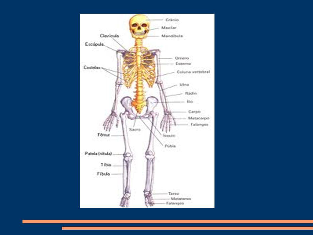 ARTICULACIONES Análisis del movimiento de las principales articulaciones: Teniendo en cuenta los planos que dividen el cuerpo (SAGITAL que divide el cuerpo en derecha e izquierda, FRONTAL que divide el cuerpo en anterior y posterior y HORIZONTAL que divide el cuerpo en parte superior e inferior) establecemos que las principales articulaciones implicadas en el fútbol son las siguientes y realizan los movimientos descritos.