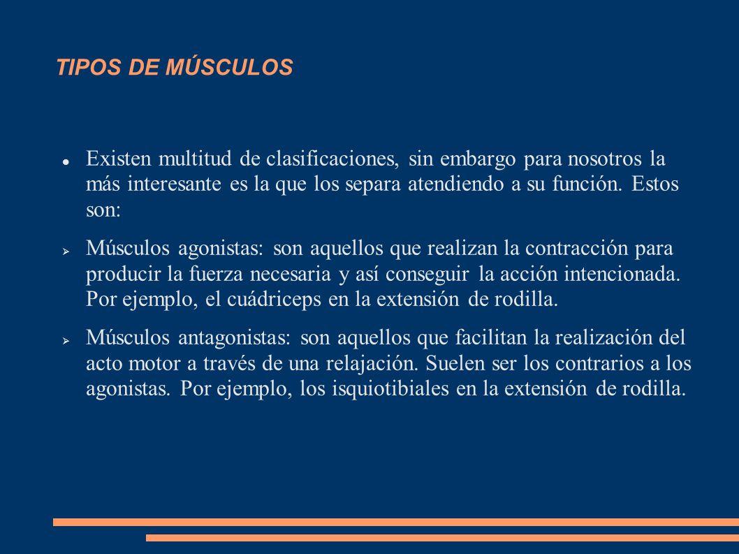 Músculos sinergistas: colaboradores de los agonistas en la acción motora.