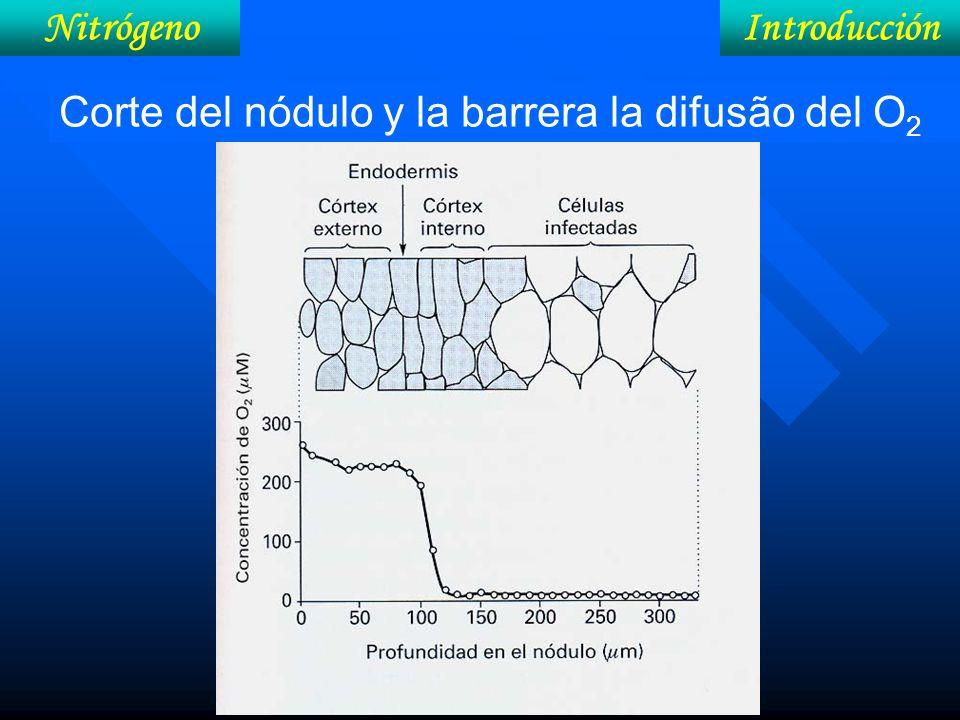 IntroducciónNitrógeno Corte del nódulo y la barrera la difusão del O 2