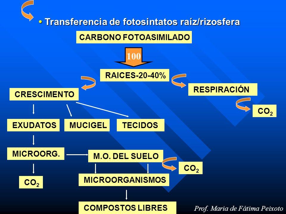 Prof. Maria de Fátima Peixoto Transferencia de fotosintatos raíz/rizosfera Transferencia de fotosintatos raíz/rizosfera CARBONO FOTOASIMILADO 100 RAIC