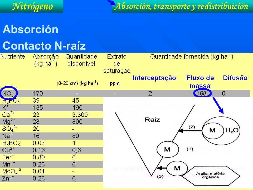 Absorción Contacto N-raíz Absorción, transporte y redistribuición Nitrógeno