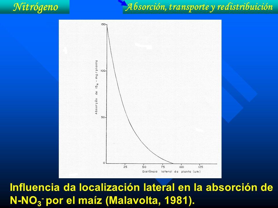 Influencia da localización lateral en la absorción de N-NO 3 - por el maíz (Malavolta, 1981). Nitrógeno Absorción, transporte y redistribuición