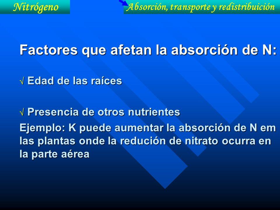 Factores que afetan la absorción de N: Edad de las raíces Edad de las raíces Presencia de otros nutrientes Presencia de otros nutrientes Ejemplo: K pu