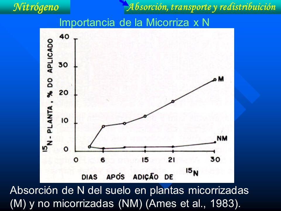 Importancia de la Micorriza x N Absorción de N del suelo en plantas micorrizadas (M) y no micorrizadas (NM) (Ames et al., 1983). Absorción, transporte