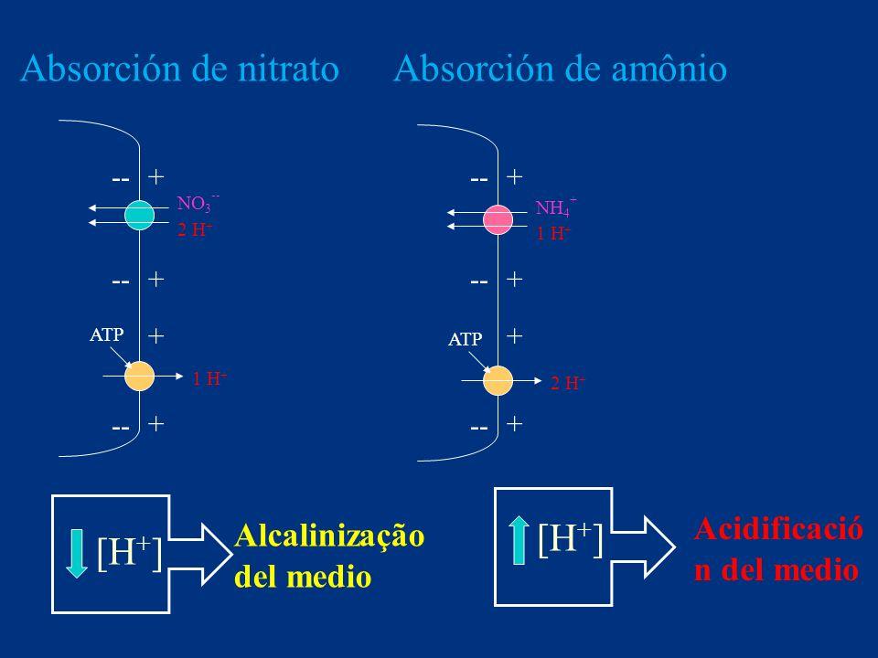 NO 3 -- 2 H + ATP 1 H + Alcalinização del medio NH 4 + 1 H + ATP 2 H + Acidificació n del medio + -- + + + + + + + Absorción de nitratoAbsorción de am