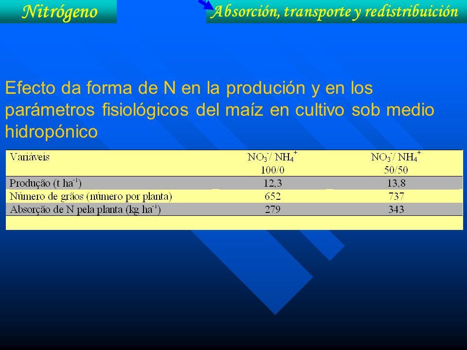 Efecto da forma de N en la produción y en los parámetros fisiológicos del maíz en cultivo sob medio hidropónico Nitrógeno Absorción, transporte y redi