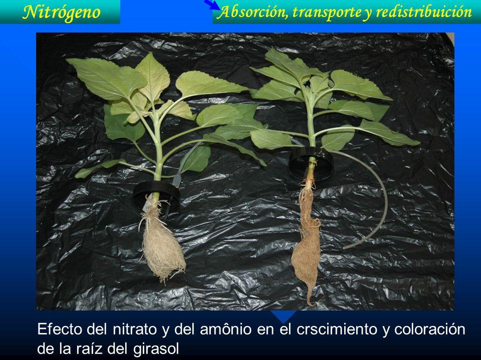 Nitrógeno Absorción, transporte y redistribuición Efecto del nitrato y del amônio en el crscimiento y coloración de la raíz del girasol
