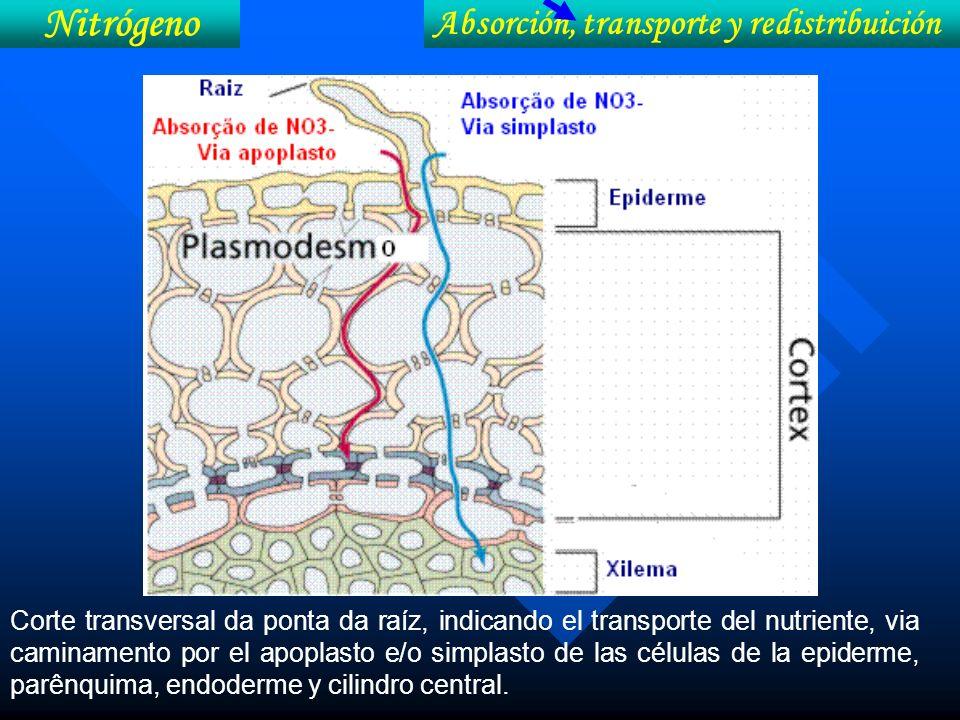 Corte transversal da ponta da raíz, indicando el transporte del nutriente, via caminamento por el apoplasto e/o simplasto de las células de la epiderm