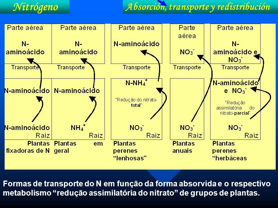 Formas de transporte do N em função da forma absorvida e o respectivo metabolismo redução assimilatória do nitrato de grupos de plantas. Nitrógeno Abs