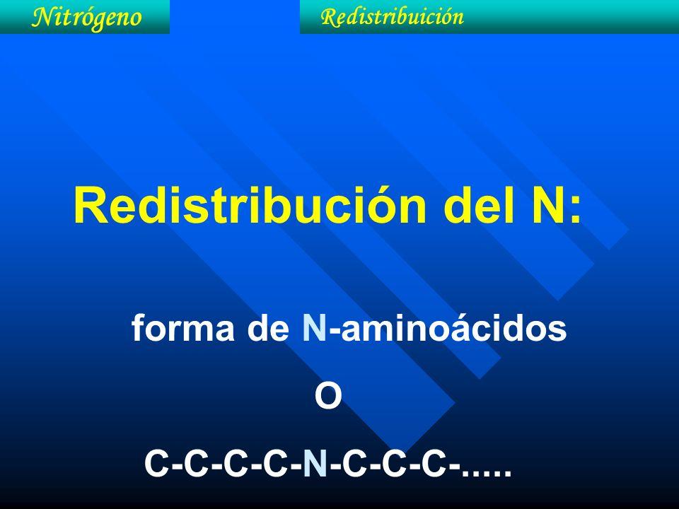 Redistribución del N: forma de N-aminoácidos O C-C-C-C-N-C-C-C-..... Nitrógeno Redistribuición