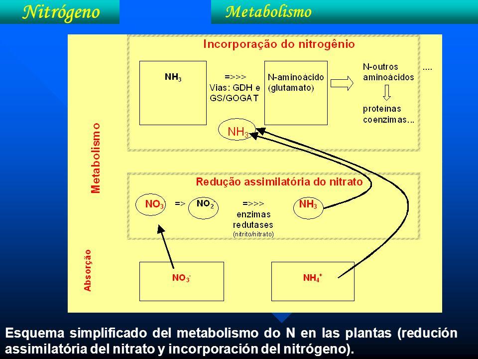Esquema simplificado del metabolismo do N en las plantas (redución assimilatória del nitrato y incorporación del nitrógeno). Nitrógeno Metabolismo