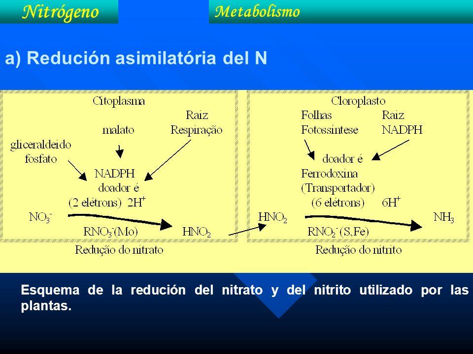 Esquema de la redución del nitrato y del nitrito utilizado por las plantas. Nitrógeno Metabolismo a) Redución asimilatória del N