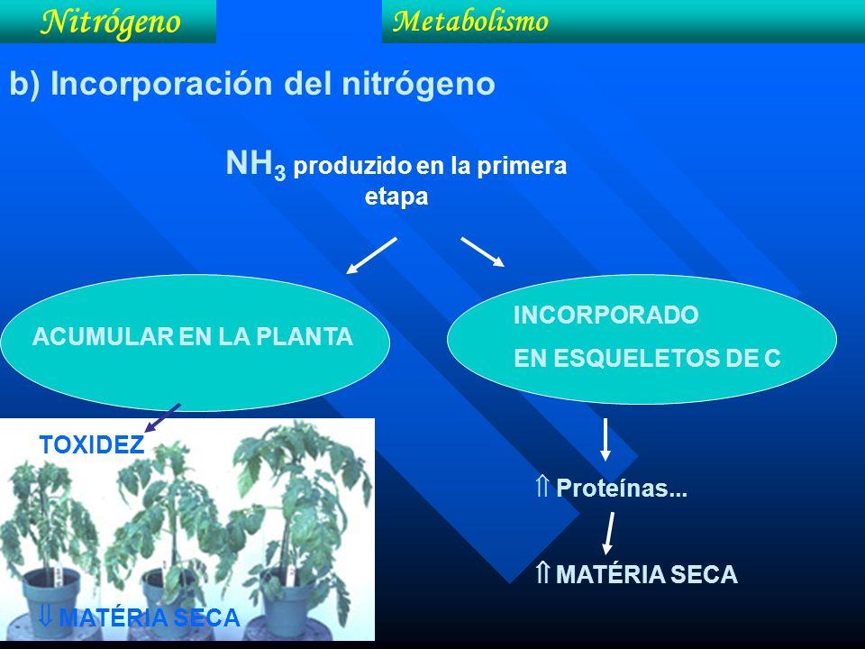 NH 3 produzido en la primera etapa Nitrógeno Metabolismo b) Incorporación del nitrógeno INCORPORADO EN ESQUELETOS DE C ACUMULAR EN LA PLANTA TOXIDEZ M
