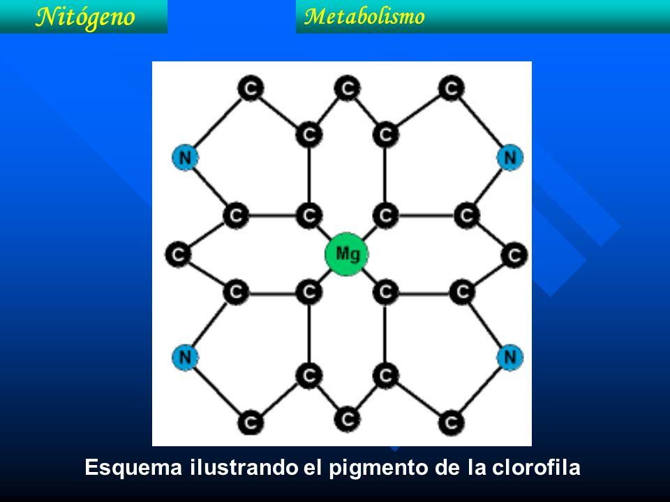 Esquema ilustrando el pigmento de la clorofila Nitógeno Metabolismo