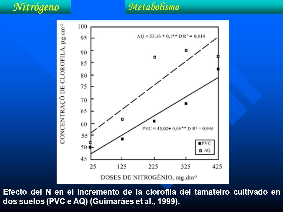 Efecto del N en el incremento de la clorofila del tamateiro cultivado en dos suelos (PVC e AQ) (Guimarães et al., 1999). Nitrógeno Metabolismo