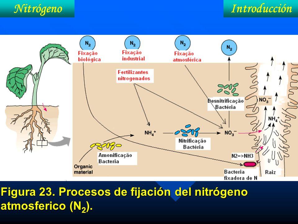IntroduccíonNitrógeno N en el suelo 5% Óxidos nitroso y nítrico (gás) Radical: amônio NH 4 +, Nitrito (NO 2 - ) y nitrato (NO 3 - ) 95% En combinaciones orgánicas: (N-orgânico) (No asiminable por las plantas)