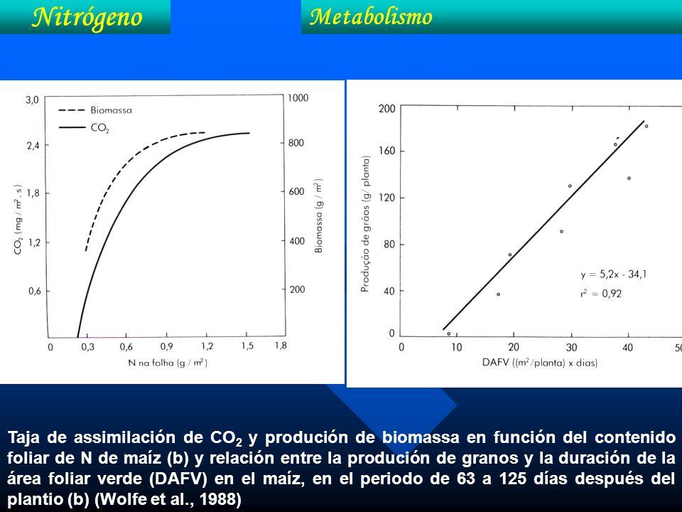 Taja de assimilación de CO 2 y produción de biomassa en función del contenido foliar de N de maíz (b) y relación entre la produción de granos y la dur