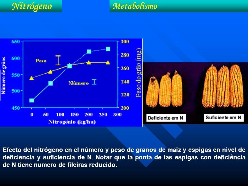 Efecto del nitrógeno en el número y peso de granos de maíz y espigas en nível de deficiencia y suficiencia de N. Notar que la ponta de las espigas con