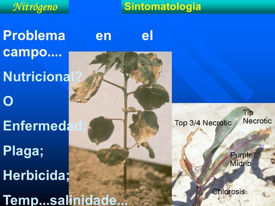 Nitrógeno Sintomatologia Problema en el campo.... Nutricional? O Enfermedad; Plaga; Herbicida; Temp...salinidade...