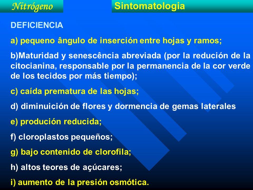 Nitrógeno Sintomatologia DEFICIENCIA a) pequeno ângulo de inserción entre hojas y ramos; b)Maturidad y senescência abreviada (por la redución de la ci