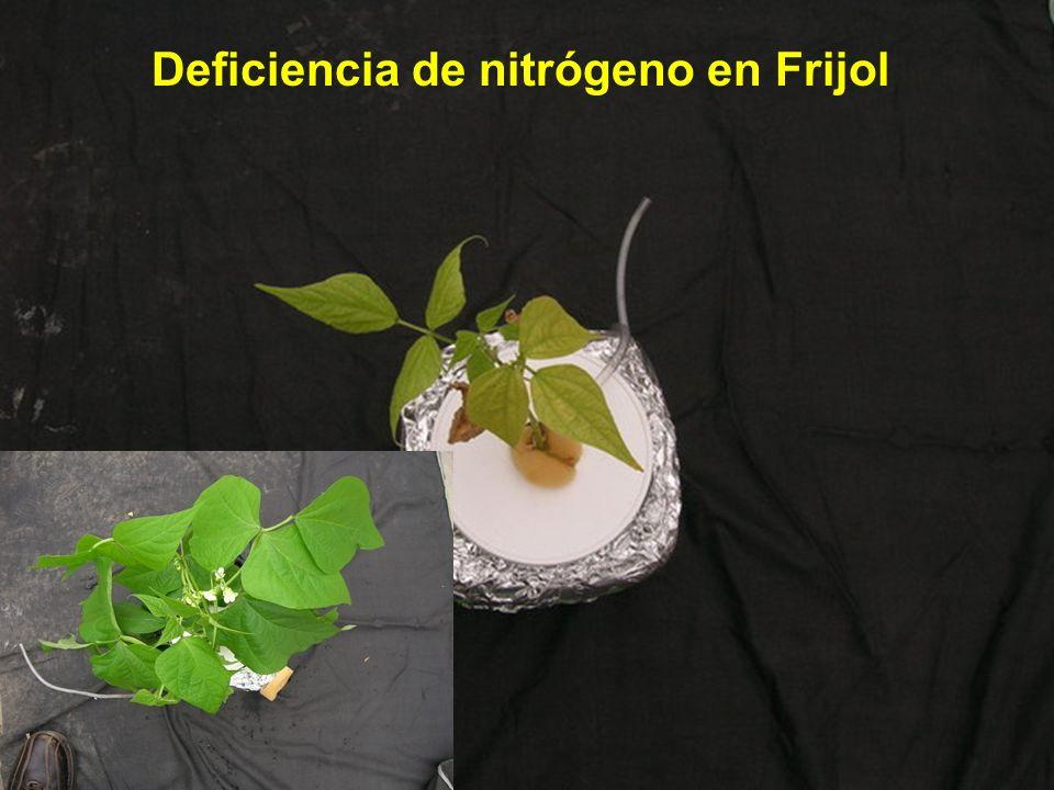Deficiencia de nitrógeno en Frijol