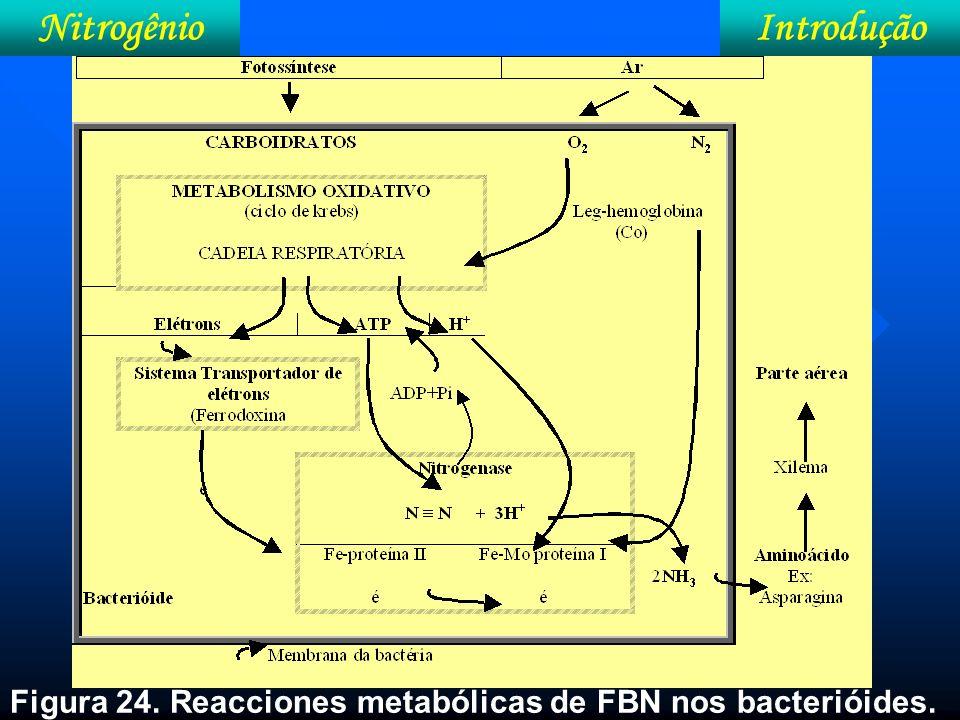 IntroduçãoNitrogênio Figura 24. Reacciones metabólicas de FBN nos bacterióides.