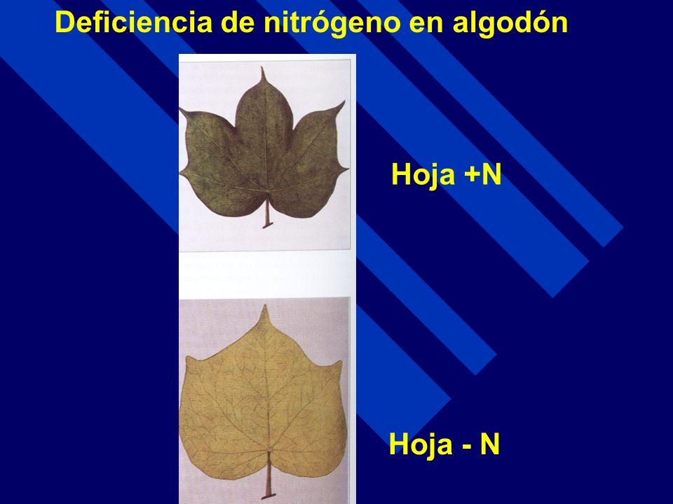 Deficiencia de nitrógeno en algodón Hoja +N Hoja - N