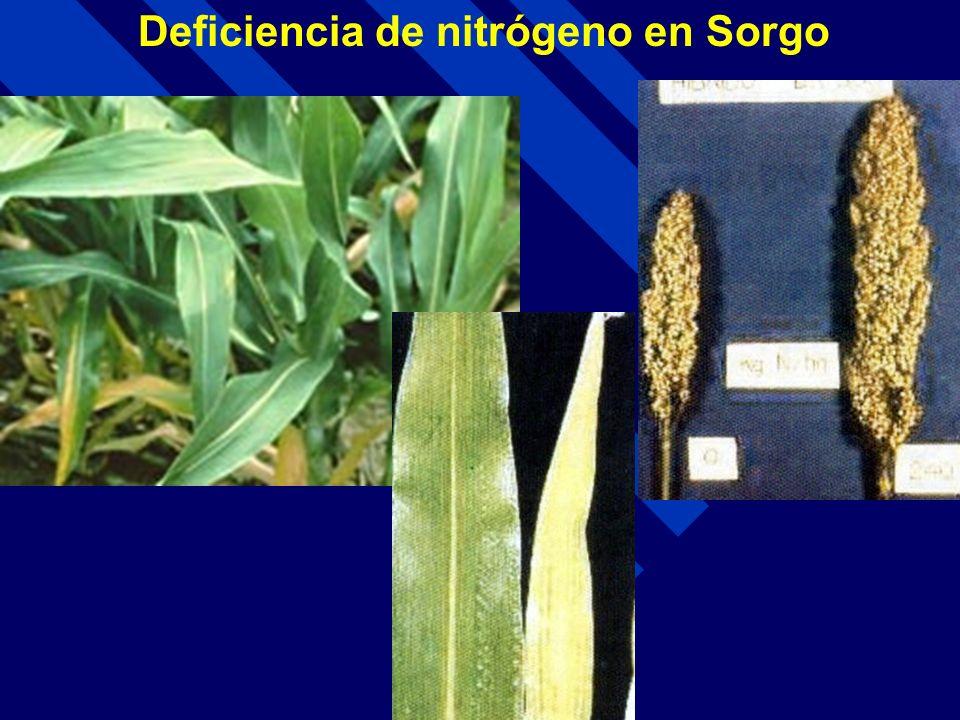 Deficiencia de nitrógeno en Sorgo