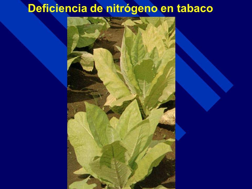 Deficiencia de nitrógeno en tabaco