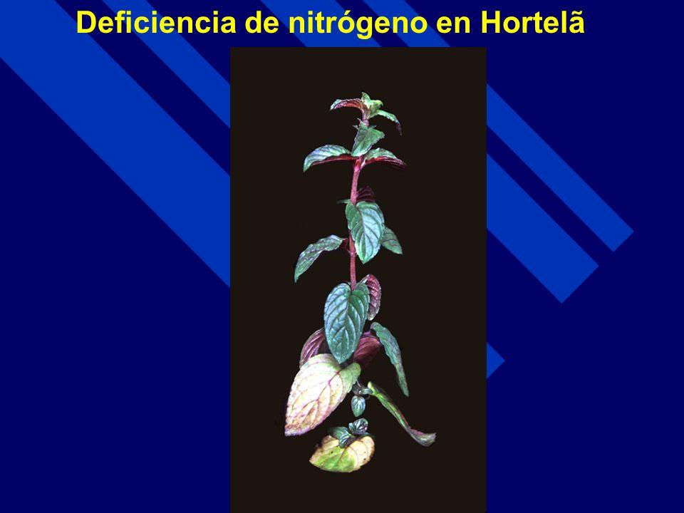 Deficiencia de nitrógeno en Hortelã