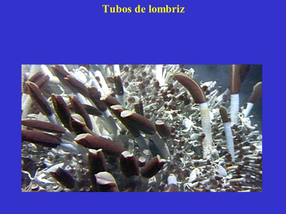 Tubos de lombriz Extraña criatura de ~1 m, sin boca, ni intestino ni ojos.