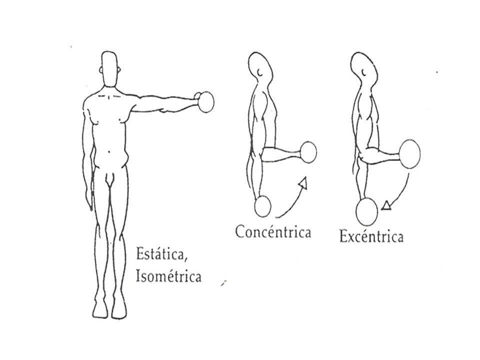 VARIACIÓN EN LA PRODUCCIÓN DE FUERZA La capacidad de producción de fuerza de un músculo no es fija en todo momento.