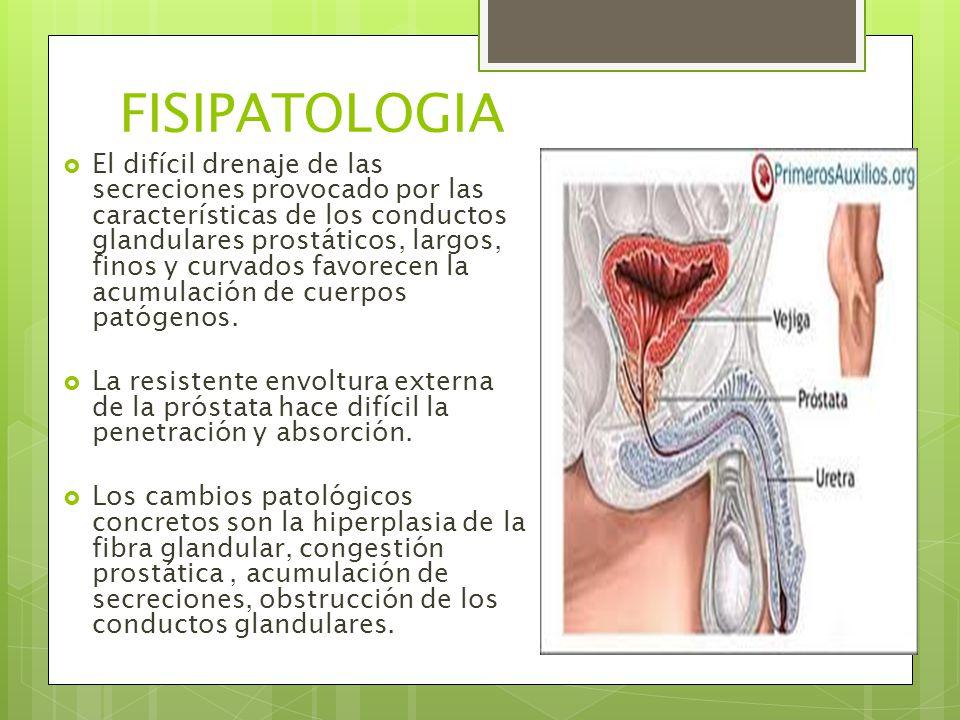 FISIPATOLOGIA  El difícil drenaje de las secreciones provocado por las características de los conductos glandulares prostáticos, largos, finos y curvados favorecen la acumulación de cuerpos patógenos.