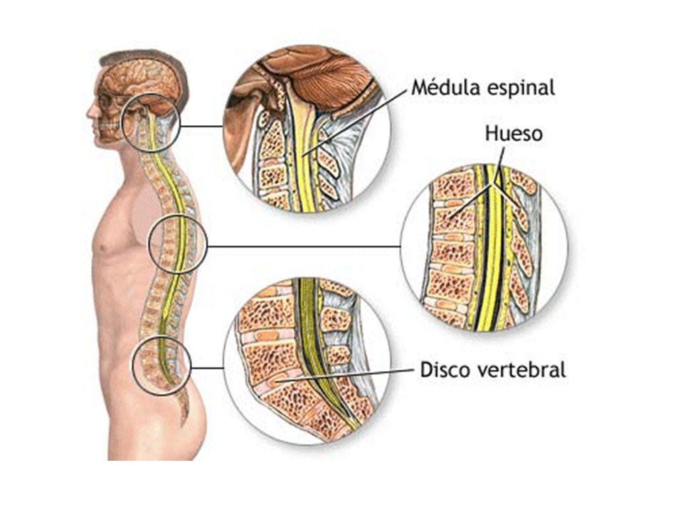 La estructura de la columna vertebral hace posible las siguientes funciones:  Sujeción corporal.