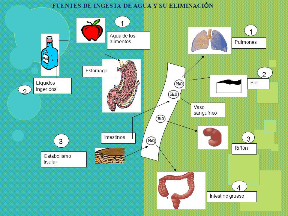 La piel, por dos mecanismos diferentes: pasivo y activo Los pulmones, porque el aire que se espira sale húmedo El tubo digestivo, normalmente una pequ